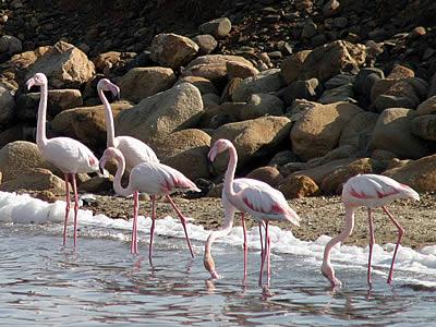 Fenicotteri rosa a Santa Gilla
